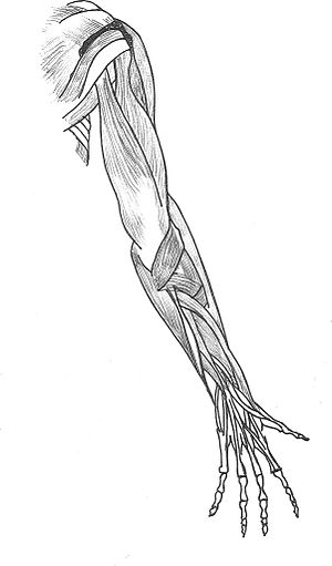 English: sketch of the muscles in the arm