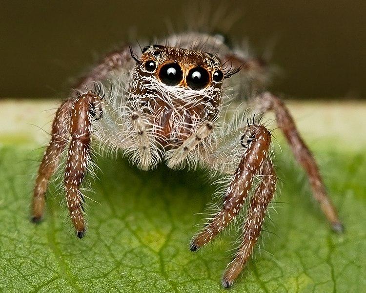 File:Skittish Jumping Spider (Salticidae) (6336216433).jpg