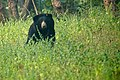 Sloth Bear In Tadoba TR.jpg