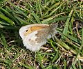 Small Heath - Flickr - gailhampshire.jpg