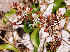 Smilax aspera flowers.jpg