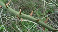 Smilax excelsa thorns.jpg