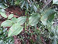 Smilax wightii-2-chemmunji-kerala-India.jpg