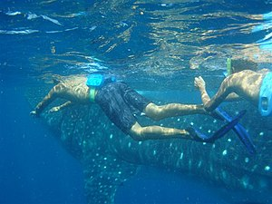 English: snorkeling whale shark at Norteast of...