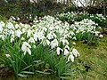 Snowdrops, Galanthus nivalis - geograph.org.uk - 1735158.jpg