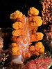 Soft coral peach komodo.jpg