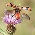 Soldier Beetle Trichodes alvearius taking off from Knapweed (cropped).jpg
