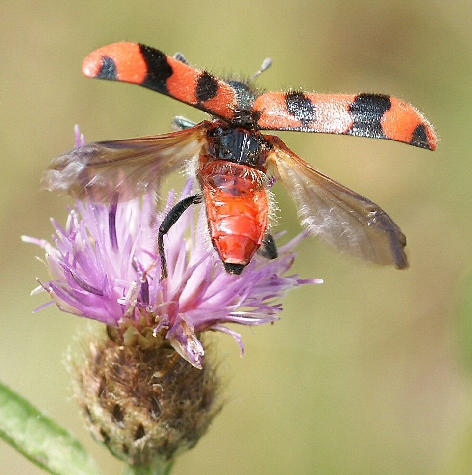 Soldier Beetle Trichodes alvearius taking off from Knapweed (cropped)