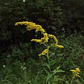 Solidago canadensis var. hargeri section of capitulescence.jpg