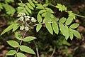 Sorbus aucuparia 123049111.jpg