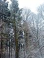 Sosna Jeffreya- Pomnik przyrody - panoramio.jpg