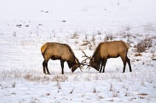 Photograph of two bull elk sparring