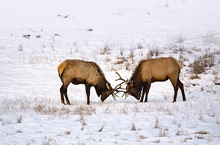 Elk - WikiMili, The Free Encyclopedia