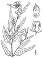 Sphaeralcea angustifolia-linedrawing.png