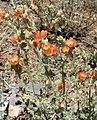 Sphaeralcea grossulariifolia 7.jpg