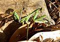 Sphodromantis viridis. subadult. - Flickr - gailhampshire.jpg