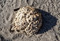 Spider crab carapace (62581).jpg