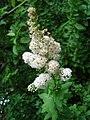 Spiraea latifolia1UME.JPG