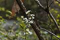 Spiraea prunifolia var. simpliciflora 2014년 4월 9일 (13768448314).jpg