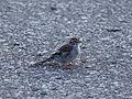 Spizella passerina (20123507223).jpg
