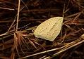 Spot-less Grass Grass Yellow Eurema laeta by Dr. Raju Kasambe IMG 3294 (1).jpg