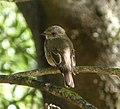 Spotted Flycatcher Muscicapa striata, Jimena, Andalucia, Spain (2).jpg