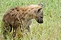 Spotted Hyena (Crocuta crocuta) young ... (33050464528).jpg