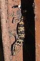 Spotted Leaf-toed Gecko Hemidactylus maculatus by Dr. Raju Kasambe DSCN7831 05.jpg