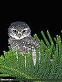Spotted Owlet (Athene brama) (27859978469).jpg