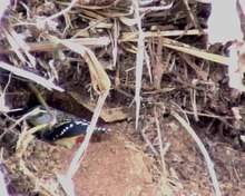 Archivo:Spotted Pardalotes burrowing.ogv
