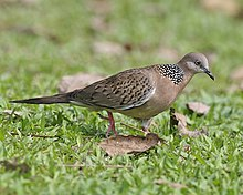 Spotted dove (Streptopelia chinensis) - Flickr - Lip Kee (1).jpg