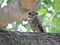 Spotted owlet 1 @ Yawal Wildlife Sanctuary.jpg