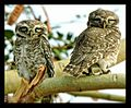 Spotting the Spotted Owlets.jpg