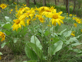 Spring Okanagan Sunflower (Balsamorhiza sagittata) Whole Plant in East Knox Mountain Park.png