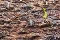 Springtail (38498259930).jpg