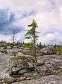 Spruce on stones.jpg