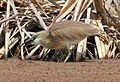 Squacco Heron, Ardeola ralloides at Marievale Nature Reserve, Gauteng, South Africa (15457081190).jpg