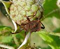 Squash bug juvenile. Late instar nymph. ( Coreus marginatus) - Flickr - gailhampshire.jpg