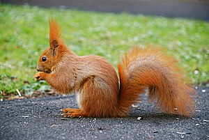 English: This is a photo of Squirrel (Sciurus ...