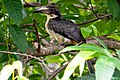 Sri Lanka grey hornbill(Ocyceros gingalensis) 05.jpg