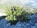 Stablo na padini Vižanice 1208.jpg