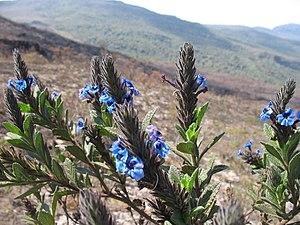 Serra do Gandarela National Park - Stachytarpheta ajugifolia