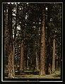 Stand of virgin ponderosa pine, Malheur National Forest, Grant County, Oregon LCCN2017877599.jpg