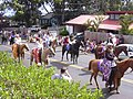 Starr-030705-0039-Cordyline fruticosa-July 4 Parade-Makawao-Maui (24528653682).jpg