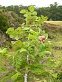 Starr-050815-3464-Rubus niveus-form a habit-Pohakuokala Gulch-Maui (24775079976).jpg