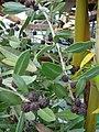 Starr-070906-8496-Conocarpus erectus-fruit-Kula Ace Hardware and Nursery-Maui (24523869129).jpg