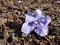 Starr-080417-4092-Jacaranda mimosifolia-fallen flower-Makawao-Maui (24880659446).jpg