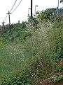 Starr-090426-6388-Bromus diandrus-seeding habit-Lower Kula Rd Kula-Maui (24859344891).jpg