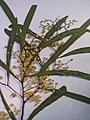 Starr-090625-1854-Acacia retinodes-voucher 090513 01-Waipoli Rd Kula-Maui (24671948990).jpg