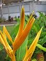 Starr-090730-3393-Heliconia psittacorum-flowers-Honolulu Airport-Oahu (24340084794).jpg